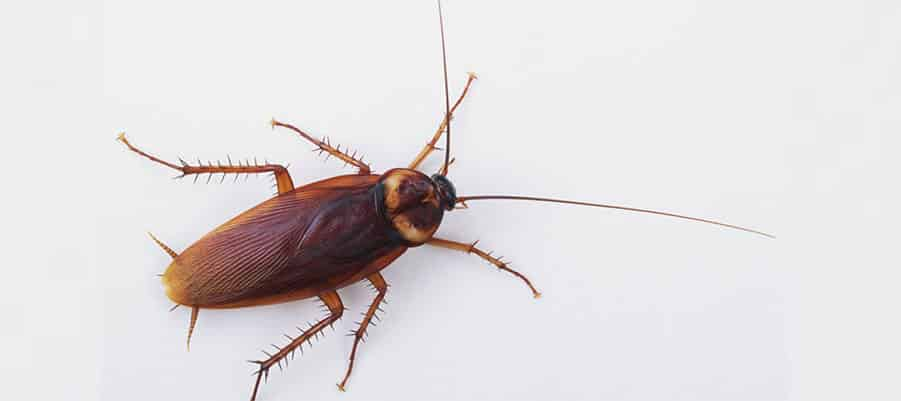 Deadly Cockroaches – List of Diseases caused by Cockroaches