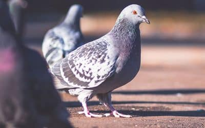 Pigeon problem solutions in India